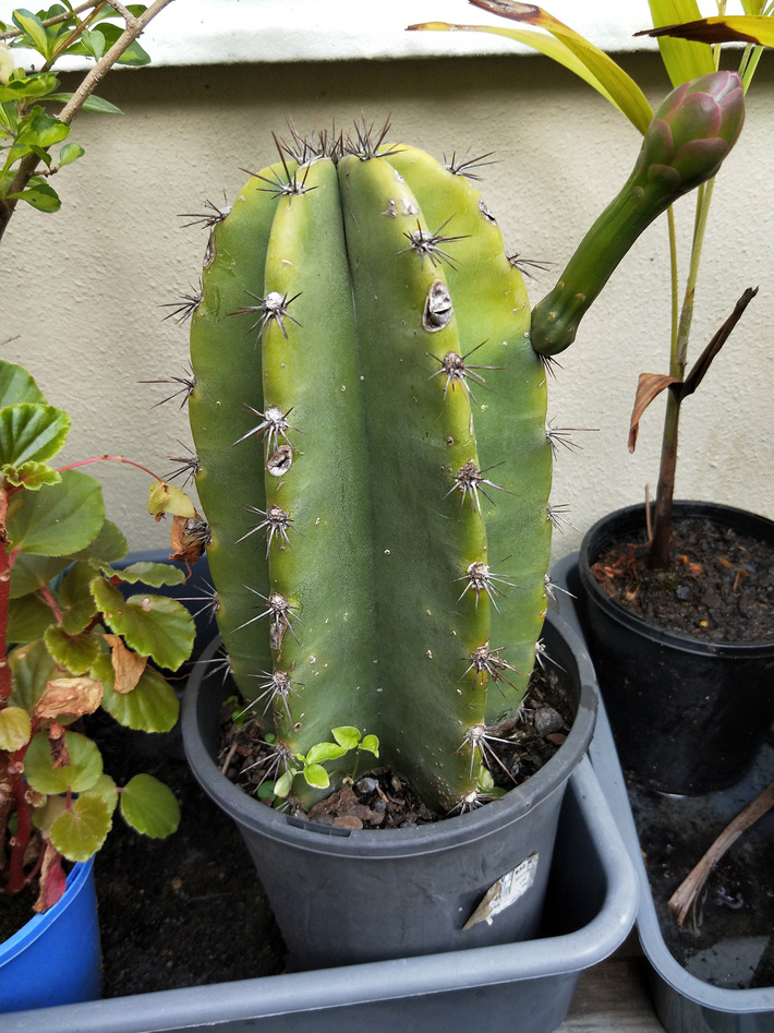 Peruvian apple cactus