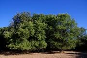 Δρυς η χνοώδης (Quercus pubescens)