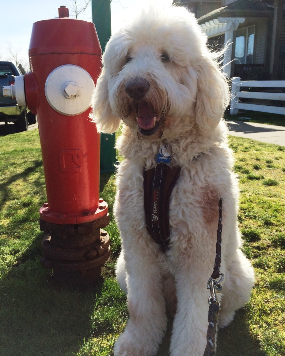 Pedro and the fire hydrant