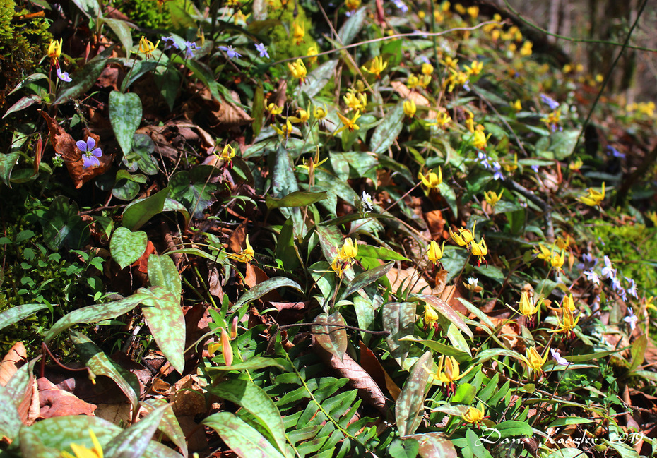 hillsides of trout lilies and hepaticas