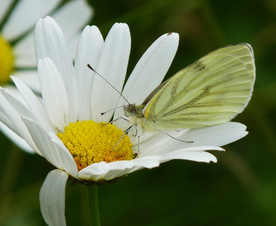 A Green-veined White butterfly on an Ox eye daisy in the meadow, June 27th '11