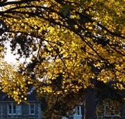 Sycamore leaves, Nov 12th '12