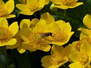 Hoverfly on the Marsh Marigold flowers in the pond, April 5th '17