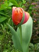 amazing tulip