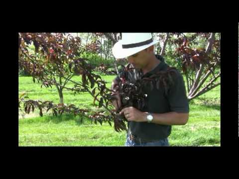 When and How to Thin Fruit on Peach Trees - Gurney's Video