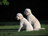 In search of a trust worthy breeder (midwest) - Goldendoodles com