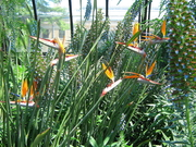 A BUNCH OF BIRD'S OF PARADISE