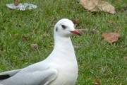 An uncommon Black-headed Gull has returned for the winter!