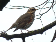 One of 15 Redwings in the park today