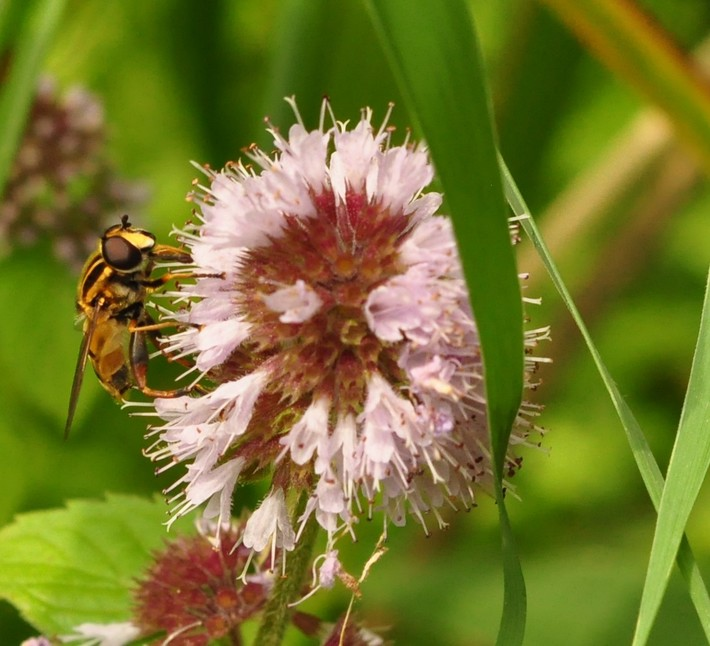 Hoverfly by the pond
