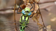 A Southern Hawker dragonfly basking in the park this afternoon.