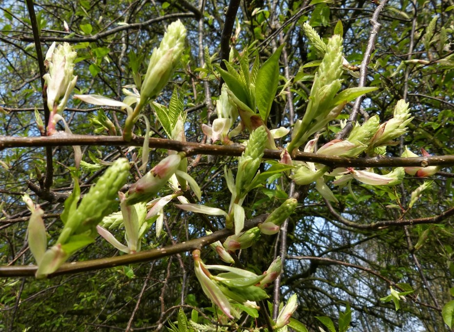 Bird Cherry flower buds beginning to open, April 7th '19