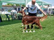 SPECIAL DOG SHOW - VII FCI GROUP Pointing Dogs- LAPOVO 2012- EL MONDO ( EW O'ceallaigh's Yolookatme & IntCh Donna Constansa) CAC BOS BOB