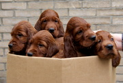 all puppies in the box
