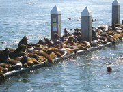 Sea Lions Crowd the Wharf in Moss Landing Harbor