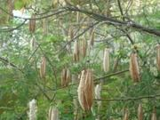 Silk Cotton from Trees in Tropical Forests Areas .