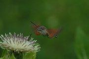 Kolibrievlinder op Moesdistel 30 juli 2006 Vogezen