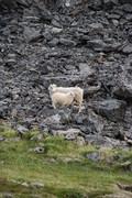 Icelandic sheap