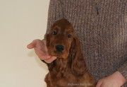 Sowizdrzał  - available boy - 11 weeks old