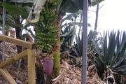 Banana das canarias