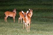 Norris Deer