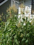 Corn 2009