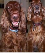 Irish Setter Rescue Dogs