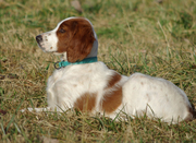 Irish Red & White Setters