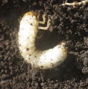 Manejo de plagas de suelo