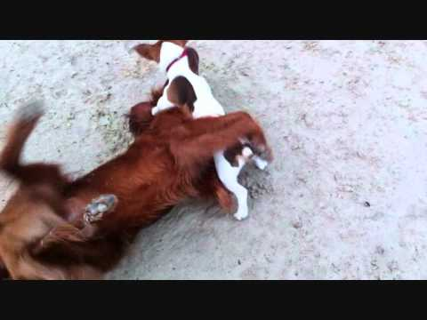 My Irish Setter playing with a friend of his
