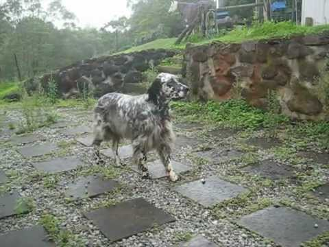 My English Setter, Misty showing her natural bird instincts