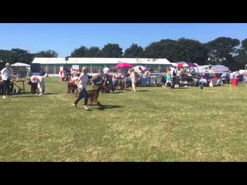 Irish Setter Bournemouth Championship Show 2015