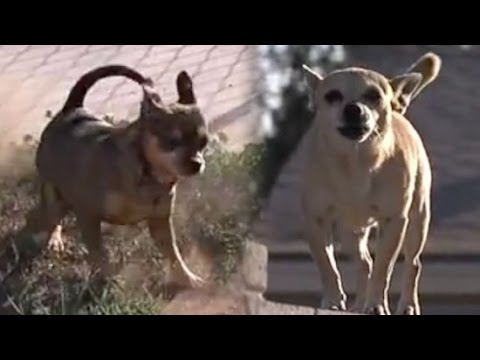 Tiny Terror – Arizona Town Terrorized by Packs of Stray Chihuahuas