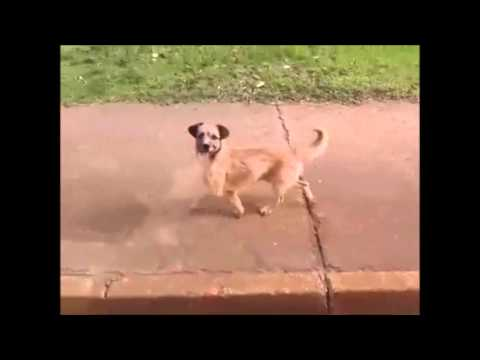 Cachorro persigue ambulancia en Taguatinga
