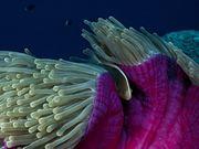Peixe e anemona