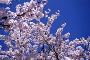 Nomad Chef: Cherry Blossom Boogie!