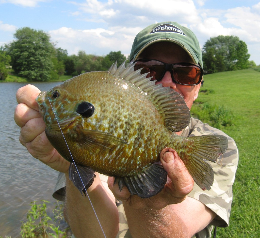 Pumpkingills   the Pumpkinseed-Bluegill Hybrid - Bluegill - Big Bluegill