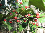 Christmas Holly in Cades Cove