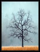 Cataloochee Tree