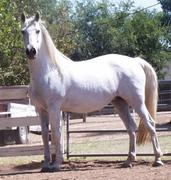 Fiesta PRE Andalusian mare