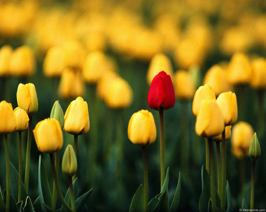 red_in_yellow_tulips
