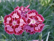 Dianthus - the flower