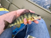 Yellow Perch 4/16/2017
