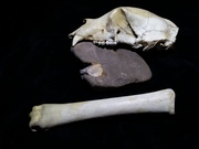hiking around I find all sorts of things..petrified bone of unknown origins, mountain lion or bear skull and bone in rock