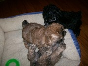 Ginger's Puppies at 6 + wks