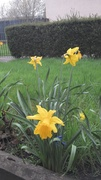 Big daffs