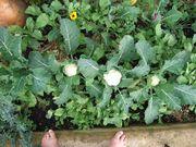 mini white & purple cauliflower