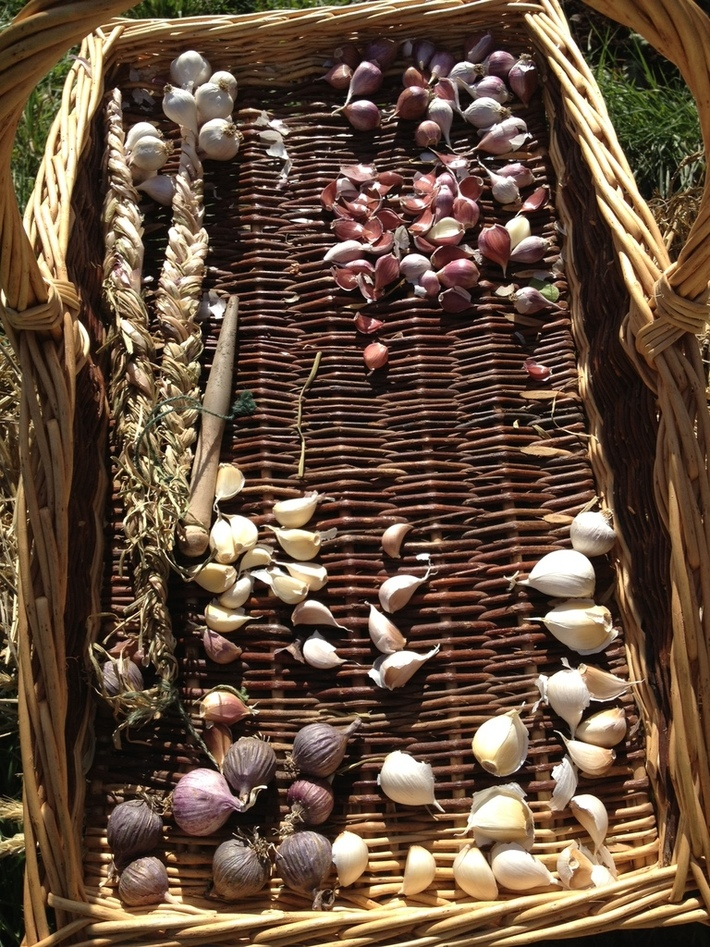 Garlic about to be planted
