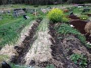 Garlic beds Sept 2013