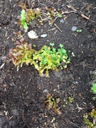 Self sown lettuces